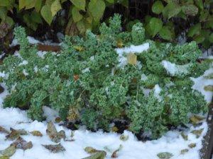 Grønnkål er hardfør og lett å dyrke i hagen